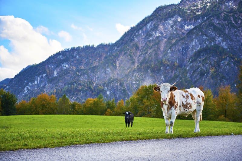 在绿草山坡是两头母牛 r 绿色高山草甸围拢的树木丛生的山 免版税库存照片