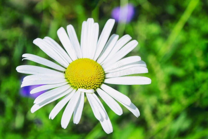 在绿草模糊的背景的春黄菊花 免版税库存照片
