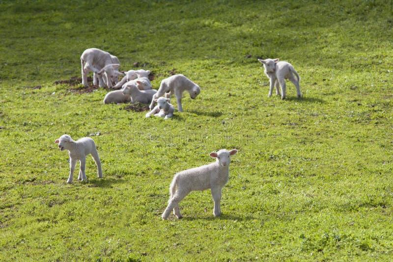在绿草的头等羊羔 库存图片