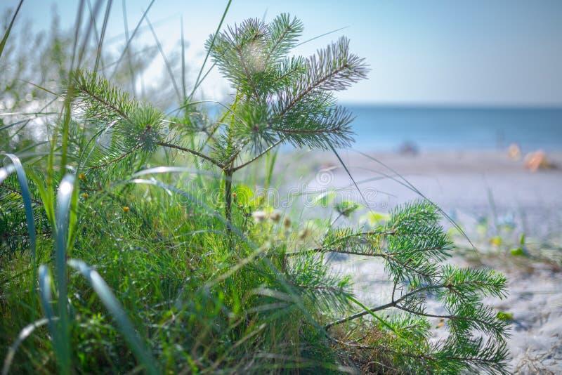 在绿草的小杉木在波罗的海的沙滩 海滨胜地在波罗的海的温暖的夏日 小DOF摄影 免版税库存图片