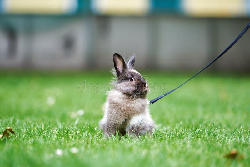 在绿草的布朗小的兔子 库存图片
