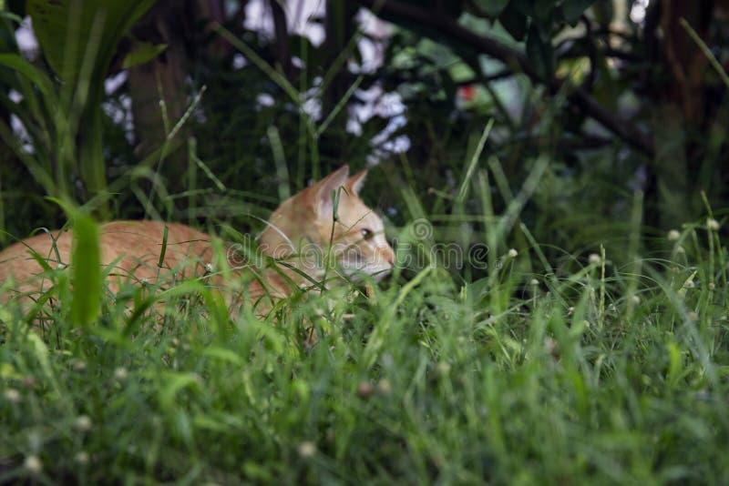 在绿草的幼小全部赌注 逗人喜爱的猫在夏天庭院里 国内宠物狩猎和放松室外 橙色猫纵向 库存照片