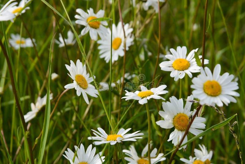在绿草的延命菊野花 抽象夏天背景 库存照片