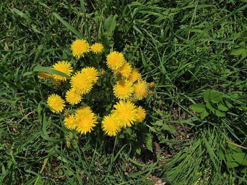 在绿草的开花的黄色蒲公英 库存图片