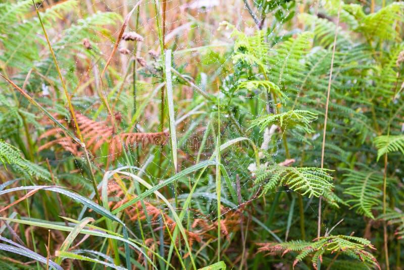 在绿草的湿spiderweb在草甸在布里坦尼 库存照片