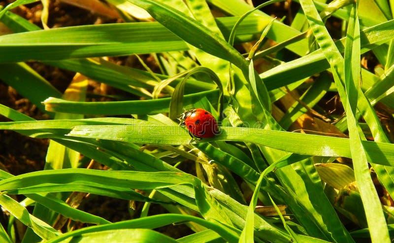 在绿草的瓢虫 图库摄影