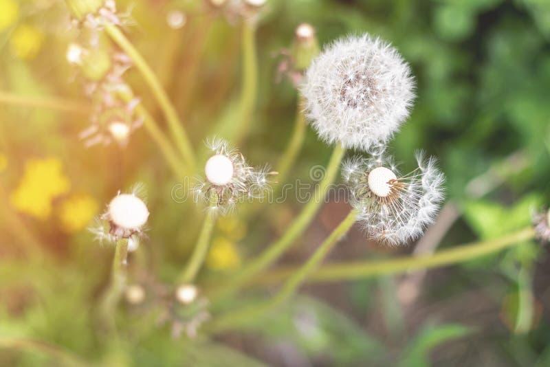 在绿草的白色蓬松蒲公英在日落 免版税图库摄影