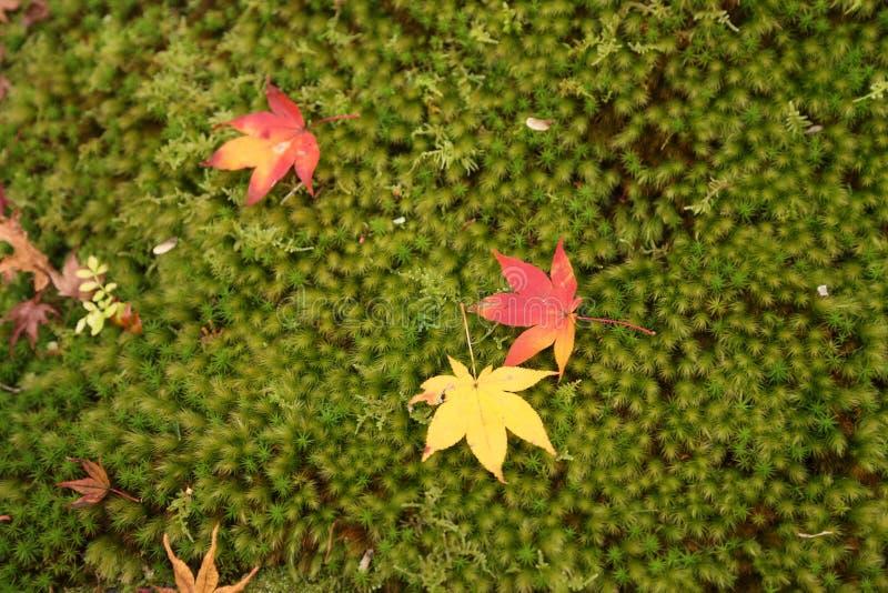 在绿草的秋叶在日本 免版税库存照片