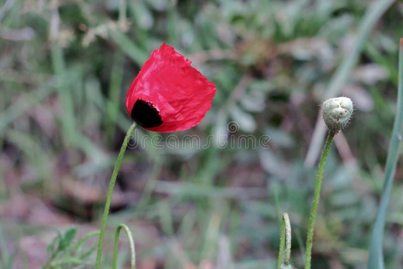 在绿草的美丽的红色鸦片在领域 库存照片