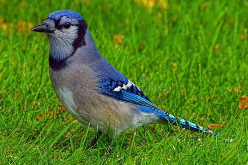 在绿草的蓝色尖嘴鸟 库存图片