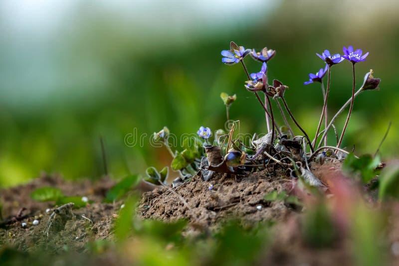 在绿草的蓝色银莲花属 免版税库存照片