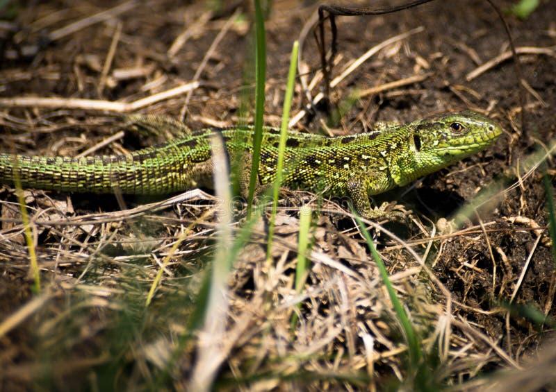 在绿草的蜥蜴 免版税图库摄影