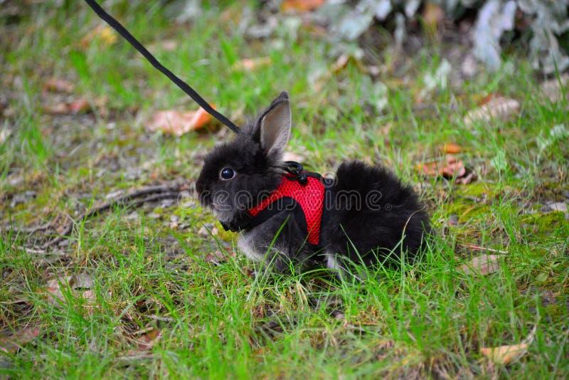 在绿草的逗人喜爱的矮小的黑兔宝宝在公园 库存图片