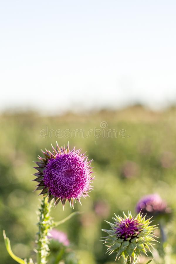 在绿草的领域的紫色野花 库存照片