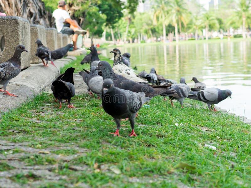 在绿草的鸽子在城市公园 库存照片