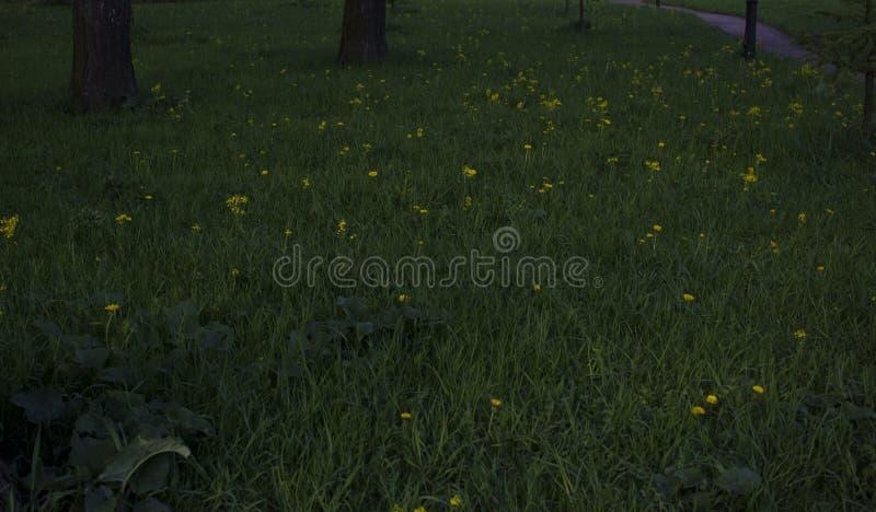 在绿草的黄色蒲公英花作为背景 免版税库存照片