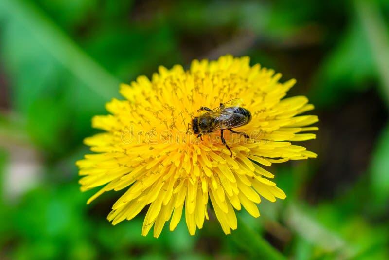 在绿草的黄色蒲公英,在花的蜂 免版税库存照片