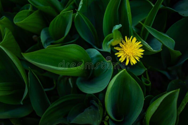 在绿草的黄色蒲公英 免版税库存图片