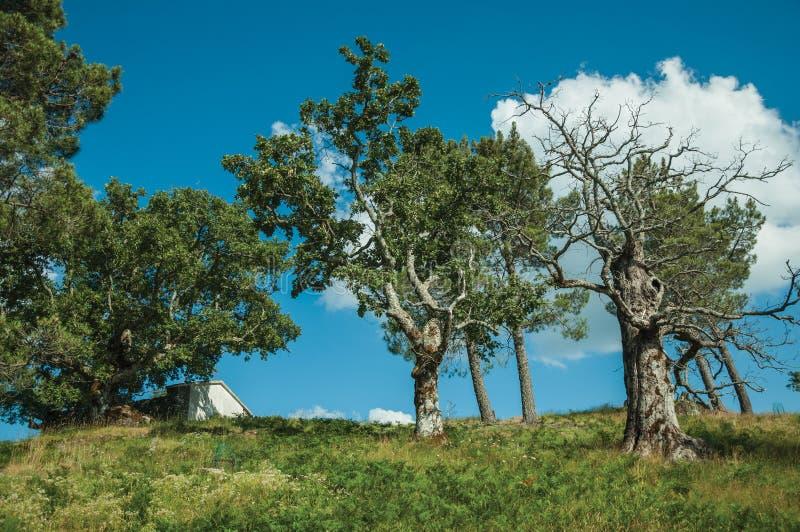 在绿草盖的小山顶部的叶茂盛橡木 免版税图库摄影
