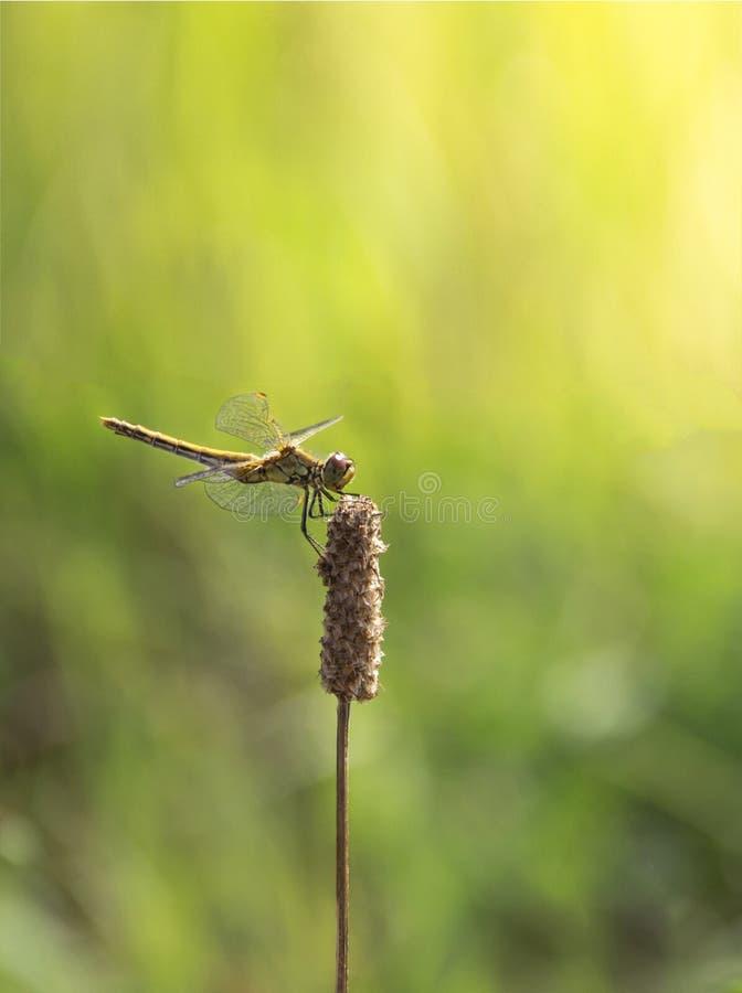 在绿草背景在分支坐的蜻蜓浅绿色的颜色的太阳发出光线拷贝空间 库存照片
