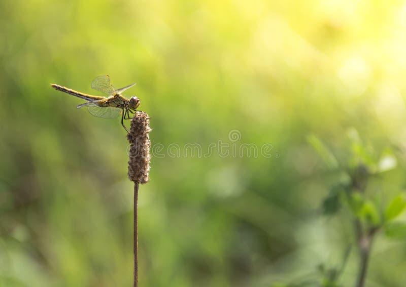 在绿草背景在分支坐的蜻蜓浅绿色的颜色的太阳发出光线拷贝空间 免版税图库摄影