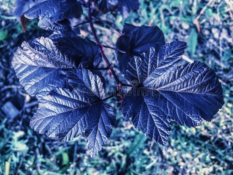 在绿草背景庭园花木的黑叶子 免版税图库摄影
