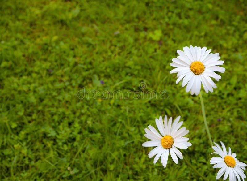 在绿草背景的三朵戴西 库存照片