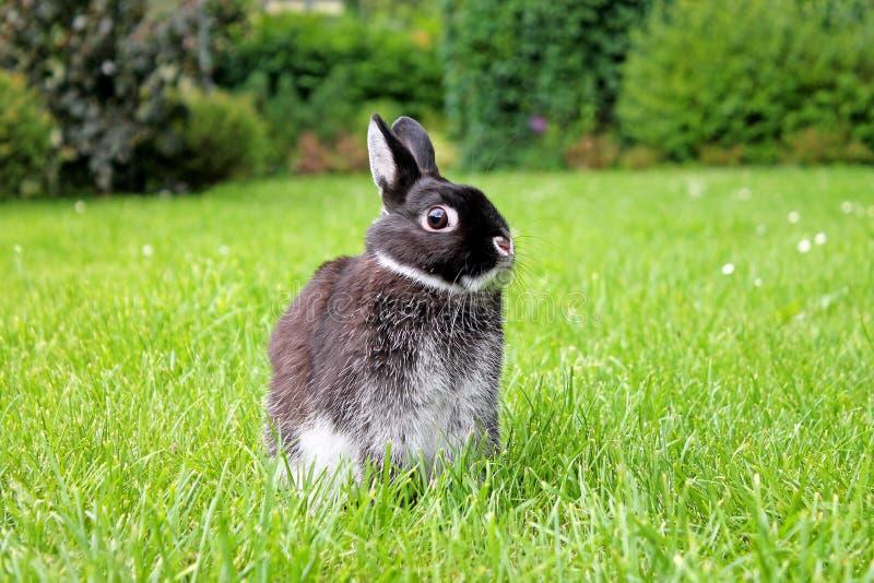 在绿草背景的小的黑兔子 库存图片