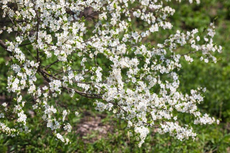 在绿草背景的开花的树分支 免版税库存照片