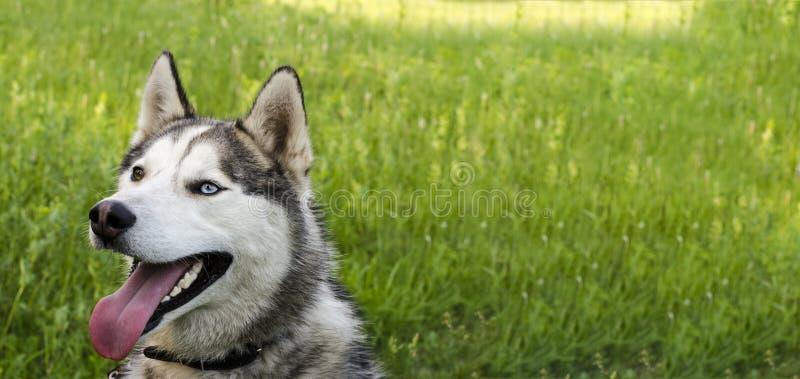 在绿草背景的成熟西伯利亚爱斯基摩人 缆绳有灰色,并且白色毛皮,不同的眼睛是蓝色和棕色的 免版税库存图片