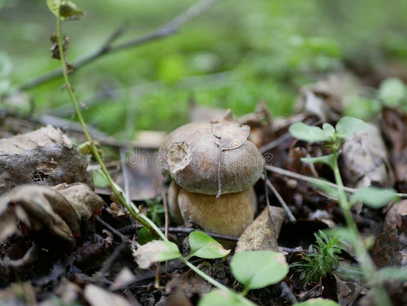 在绿草背景的牛肝菌蕈类在森林里在一个晴朗的夏日 森林有机食品的礼物 库存照片