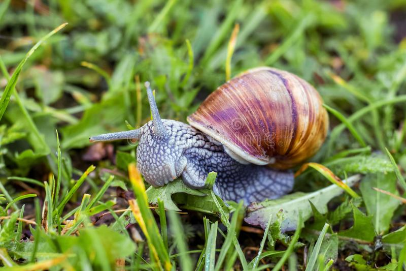 在绿草背景的蜗牛  蜗牛吃在的草 免版税库存照片