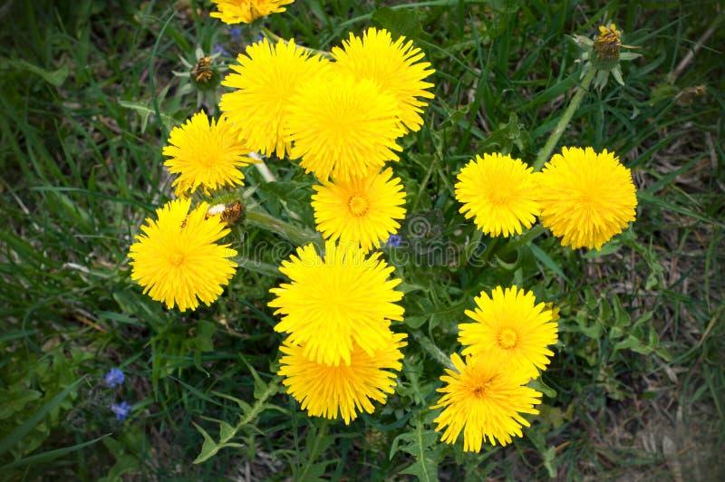 在绿草背景的被隔绝的黄色开花的蒲公英在早期的春天 免版税库存图片