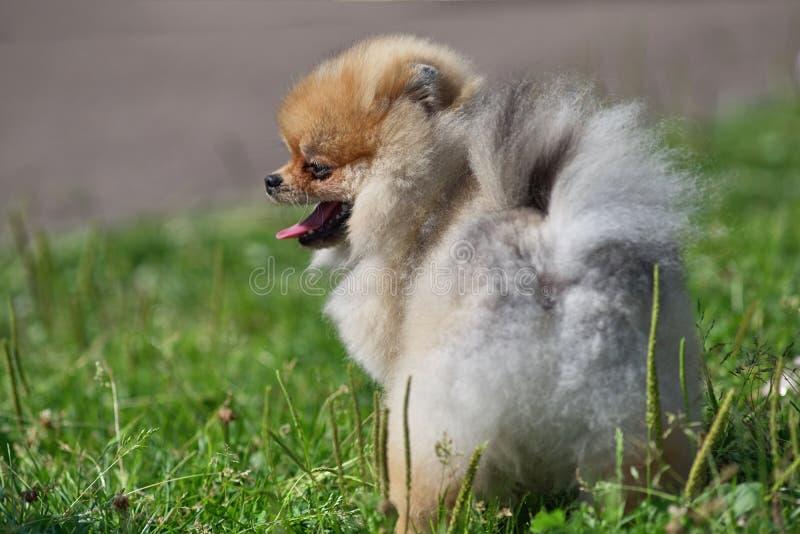 在绿草背景,背面图的红发Pomeranian 免版税库存照片
