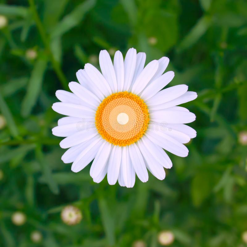在绿草花卉背景顶部的美丽的新鲜的明亮的一朵春黄菊花 ?? 免版税库存照片
