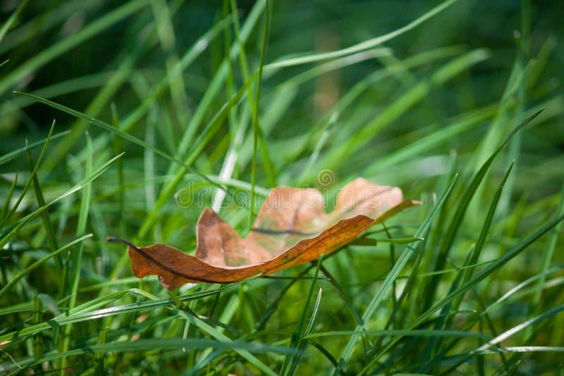 在绿草,宏指令的秋天叶子 很快秋天 免版税库存图片