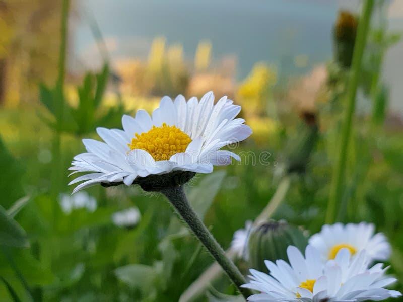 在绿草,艾里斯perennis的雏菊 库存图片