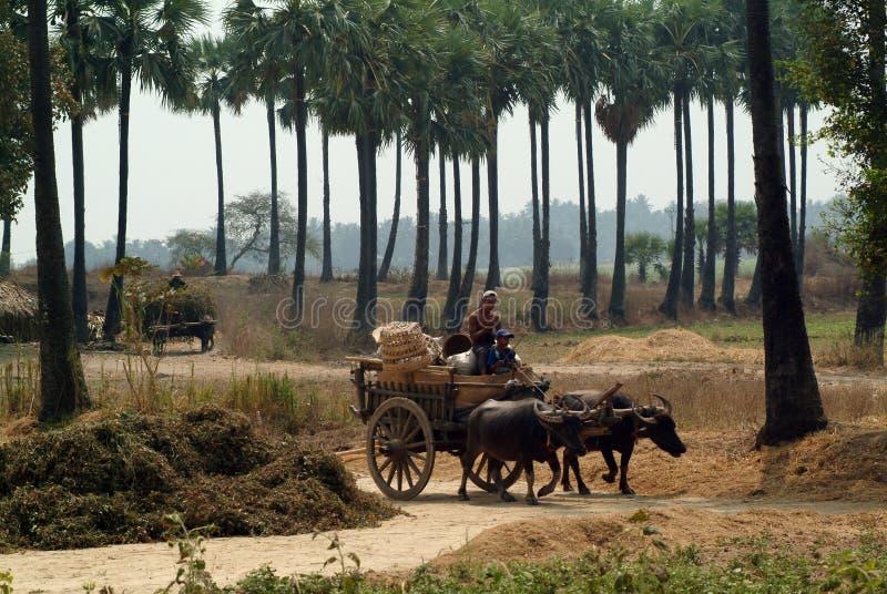 在缅甸领域拖曳的水牛城推车 免版税库存照片
