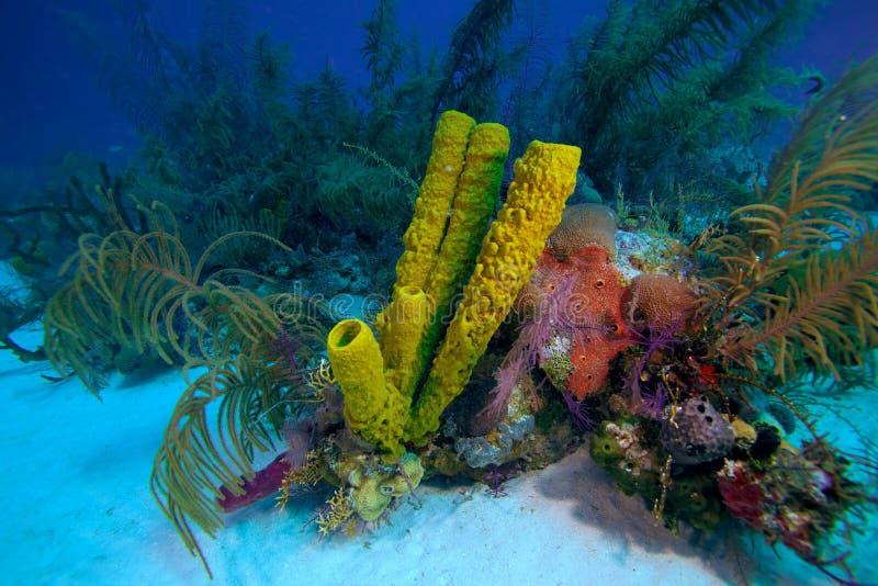 在缓慢地Cayo附近的珊瑚礁,古巴 免版税库存图片