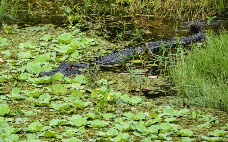 在缓慢的一美国短吻鳄鳄鱼mississippiensis,佛罗里达 库存图片