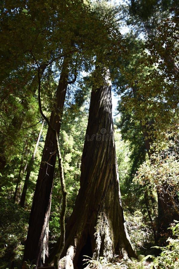 在缪尔森林国立公园的美国加州红杉在旧金山 免版税库存图片