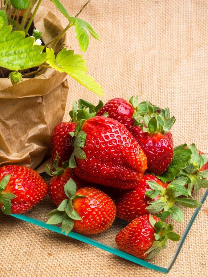 在罐和鲜美新strawberrys在麻袋布的玻璃,营养,维生素富有的莓果的野草莓 库存图片