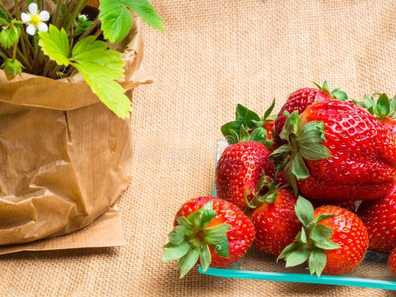 在罐和鲜美新strawberrys在麻袋布的玻璃,营养,维生素富有的莓果的野草莓 库存照片