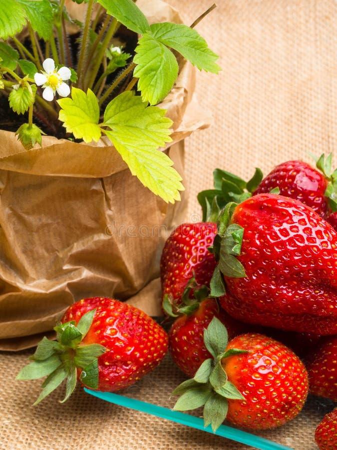 在罐和鲜美新strawberrys在麻袋布的玻璃,营养,维生素富有的莓果的野草莓 免版税库存图片