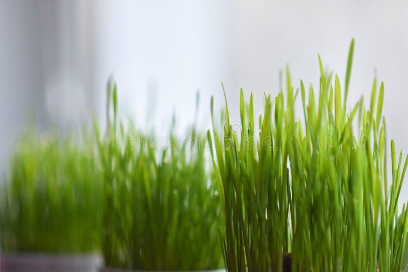 在罐在窗台,复活节彩蛋的绿草 库存照片