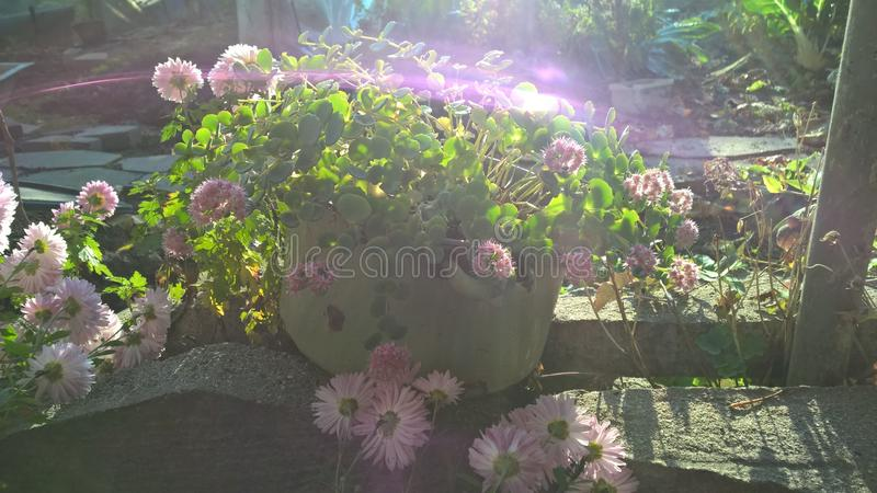 在罐太阳反射的桃红色花 免版税库存照片