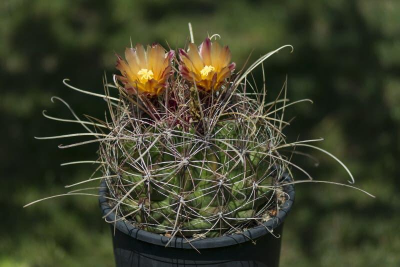 在罐开花的仙人掌 免版税图库摄影