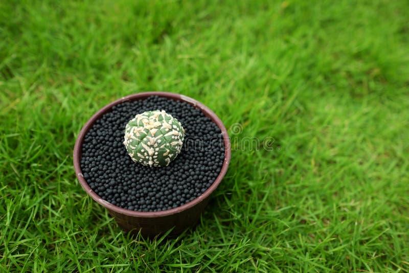 在罐的仙人掌在绿色庭院地面 免版税库存图片