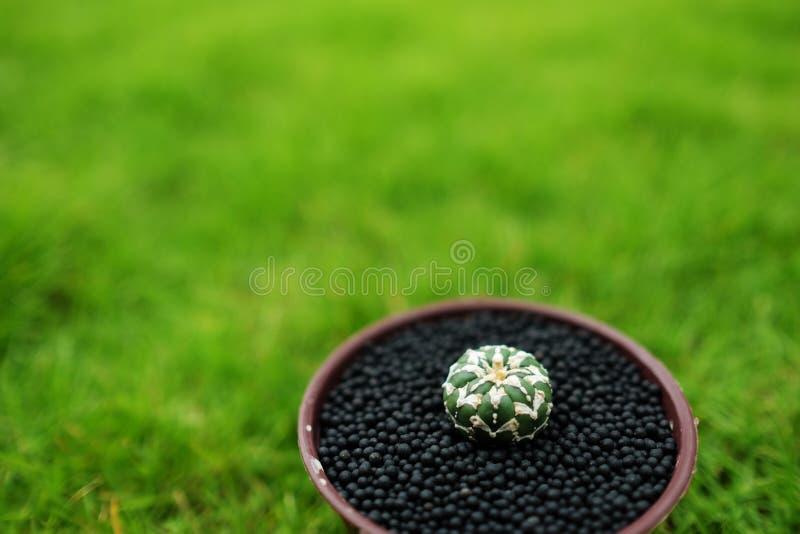 在罐的仙人掌在绿色庭院地面 库存图片