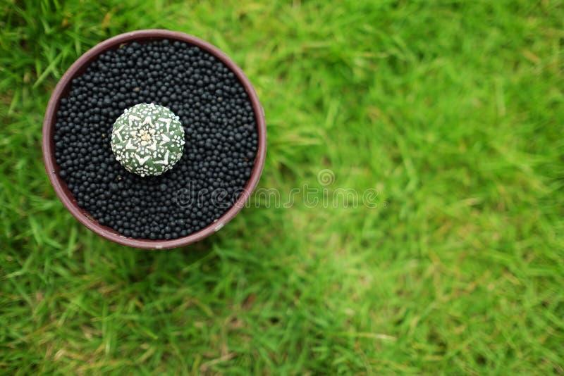 在罐的仙人掌在绿色庭院地面 图库摄影